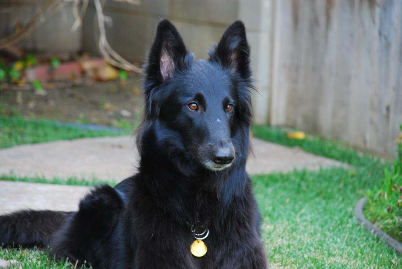 shepherd groenendael dog or wolf dog rank hunter personality funny and ...