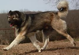 armenian-gampr-dog