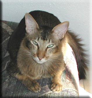 Oriental Long Hair Cat