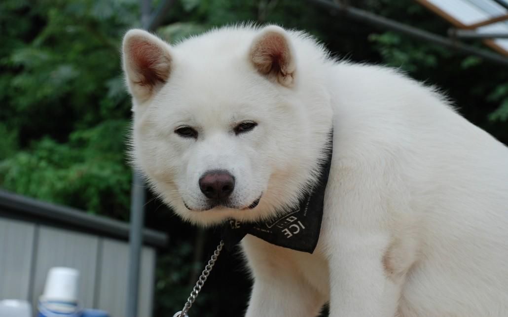 A Akita Dog Akita Inu Breed...