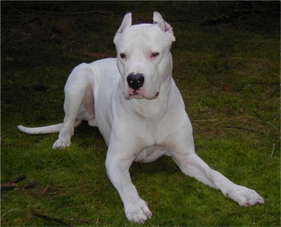Argentine Dogo Breed Guide Learn About The Argentine Dogo