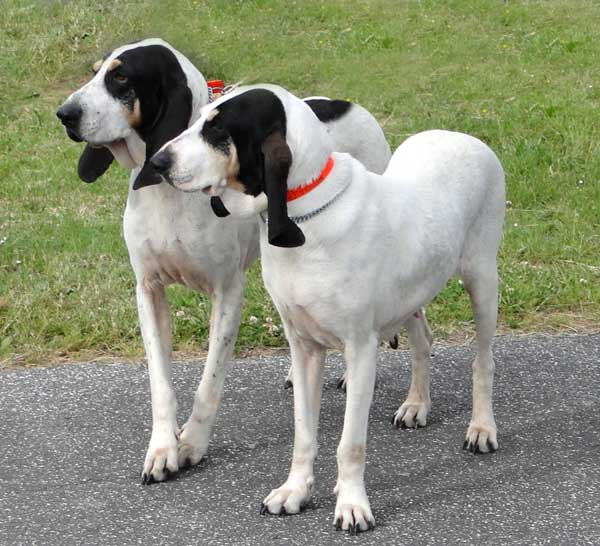 Ariegeois Breed Guide Learn About The Ariegeois