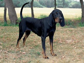 США             Black-and-Tan-Virginia-Foxhound