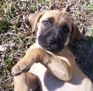 Blackmouth Cur Information Health Pictures Amp Training Pet Paw