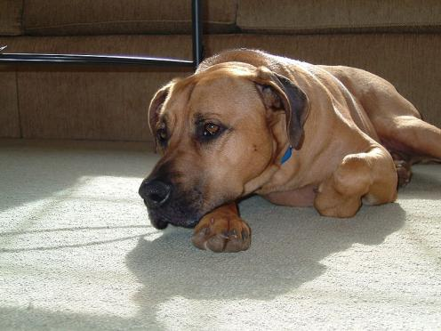 Blackmouth Cur Information Health Pictures