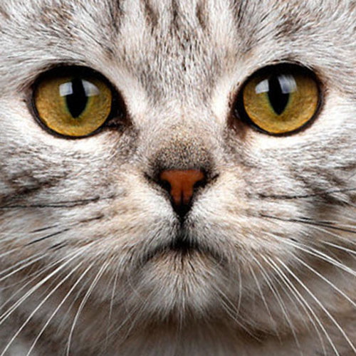 American Shorthair Information Health Pictures