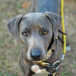 Blue Lacy Information Health Pictures Amp Training Pet Paw