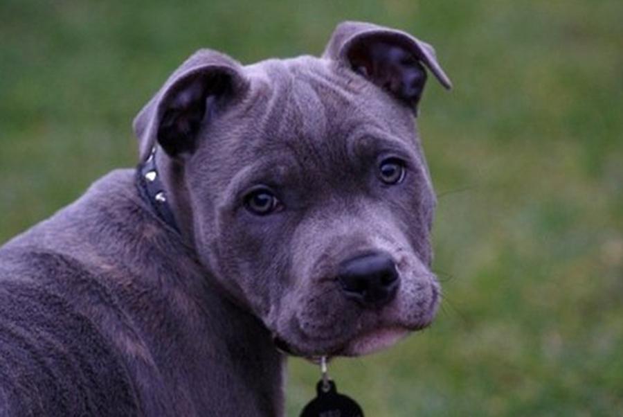 Blue Paul Terrier imag...