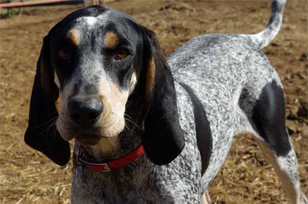 Bluetick Coonhound is looking back straight to the camera ...