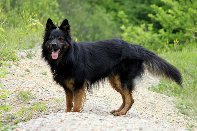 Bohemian Shepherd Information Health Pictures