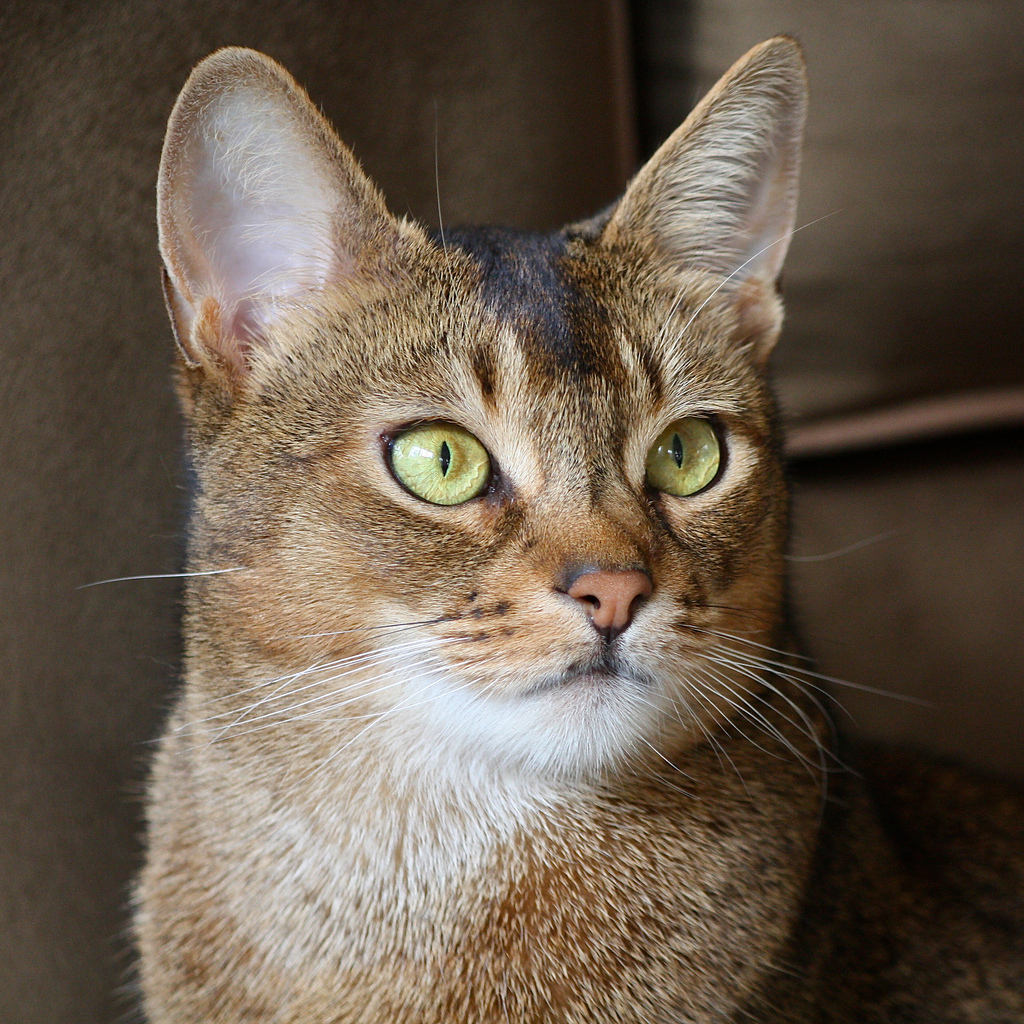 Abyssinian - Information, Health, Pictures & Training Pet Paw