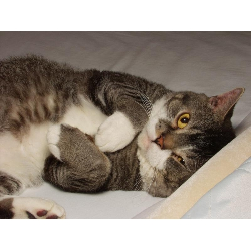 American Wirehair - Information, Health, Pictures & Training Pet Paw