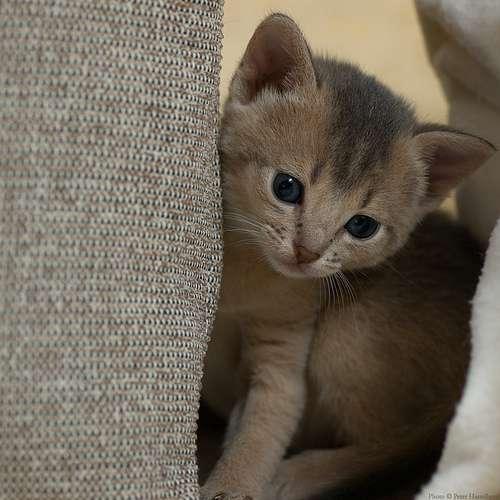 Arabian Mau Information Health Pictures Amp Training Pet Paw