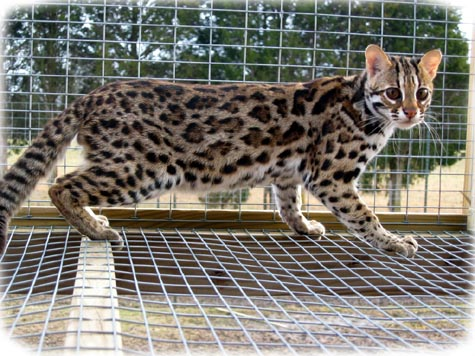 Asian Wild Cats For Sale