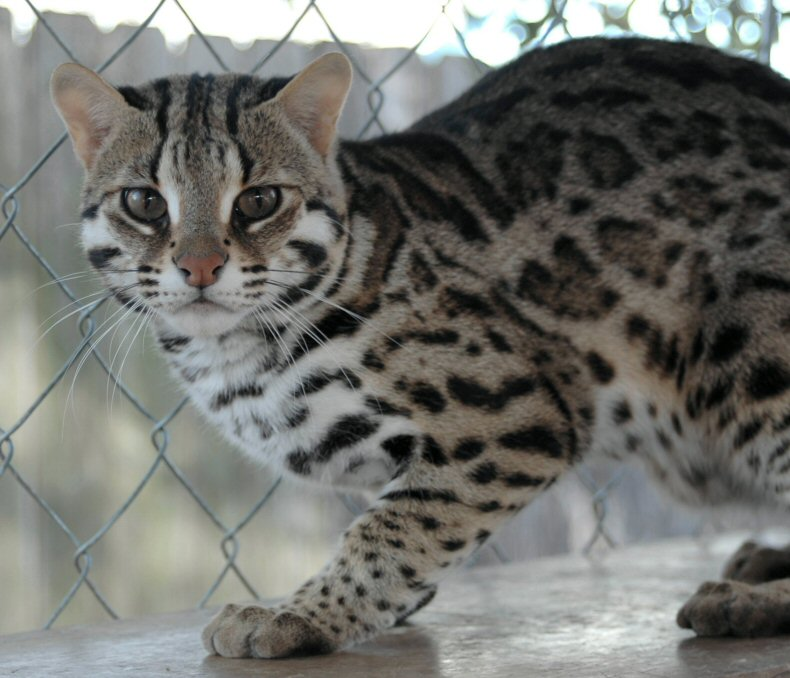 Cat asian leopord