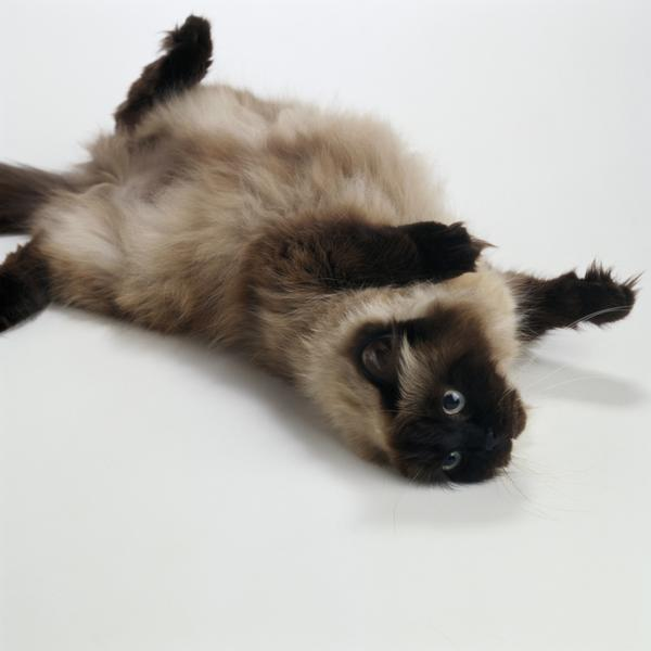 Birman Information Health Pictures Amp Training Pet Paw