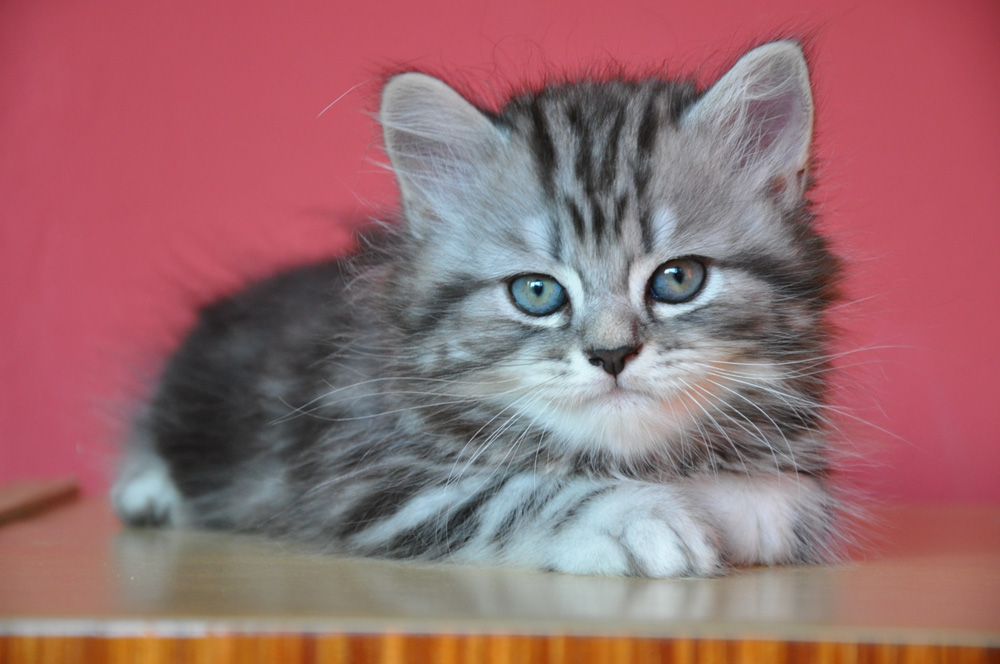 cat breeds that start with m