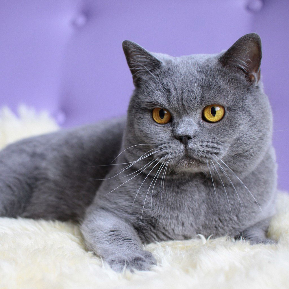 British Shorthair - Information, Health, Pictures & Training Pet Paw