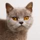 бурманская кошка цена cats 6 63 Кошки.