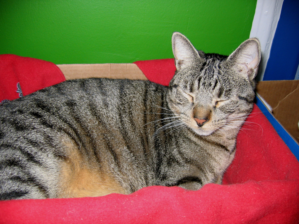 California Spangled Cat Information Health Pictures