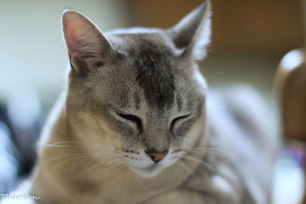 Burmilla Information Health Pictures Amp Training Pet Paw