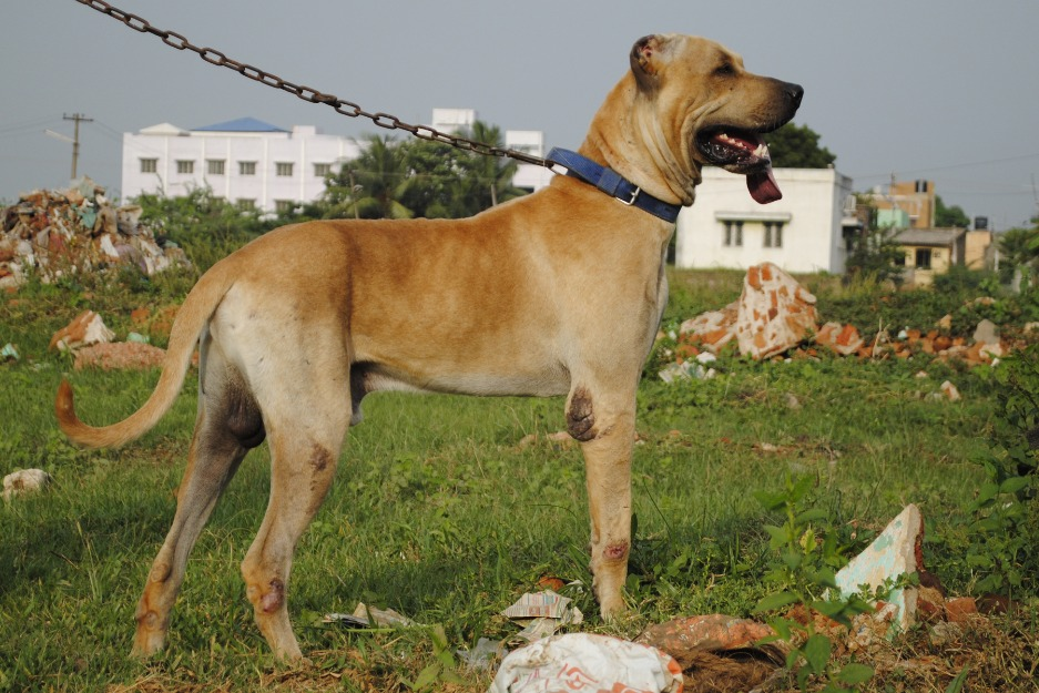 Bully Kutta Puppies Bully Kutta Puppy For Sale | Dog Breeds Picture
