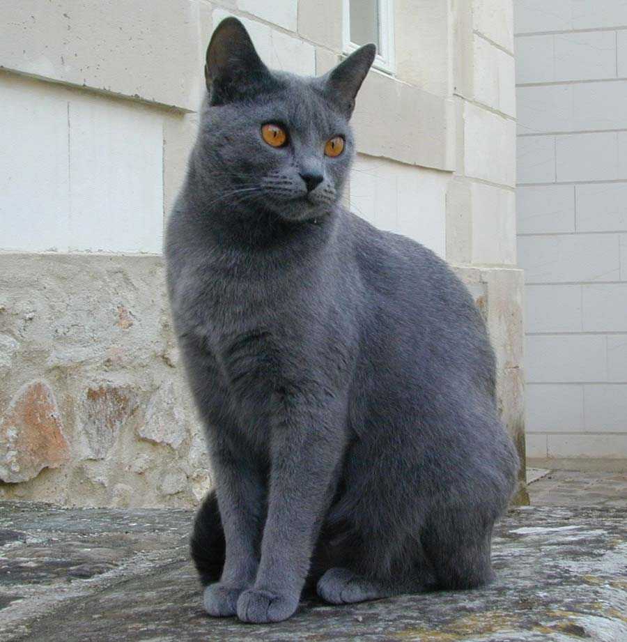 Chartreux information health pictures training pet paw for Can you train a cat to go outside for bathroom