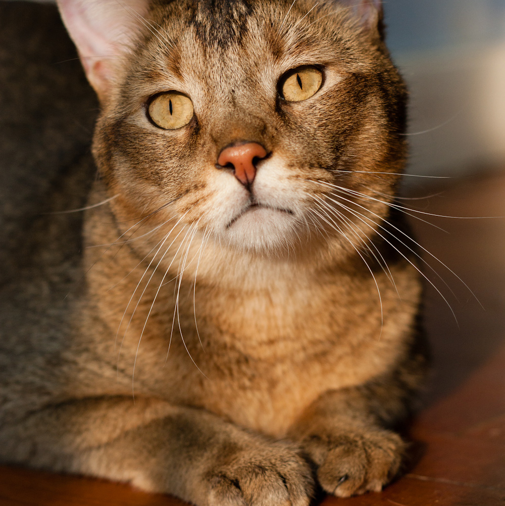 chausie cat breeds cute breed information health cats dog pet training petpaw characteristics
