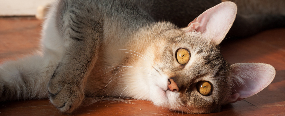 Chausie - Information, Health, Pictures & Training Pet Paw