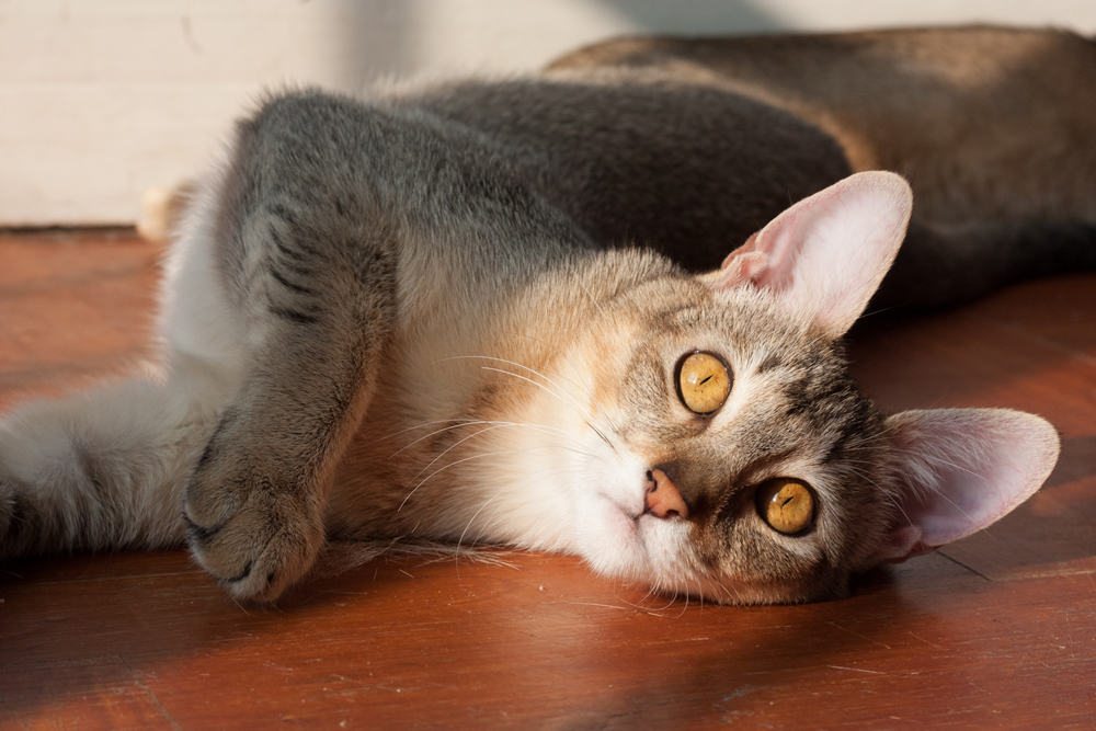 Chausie Information Health Pictures Amp Training Pet Paw