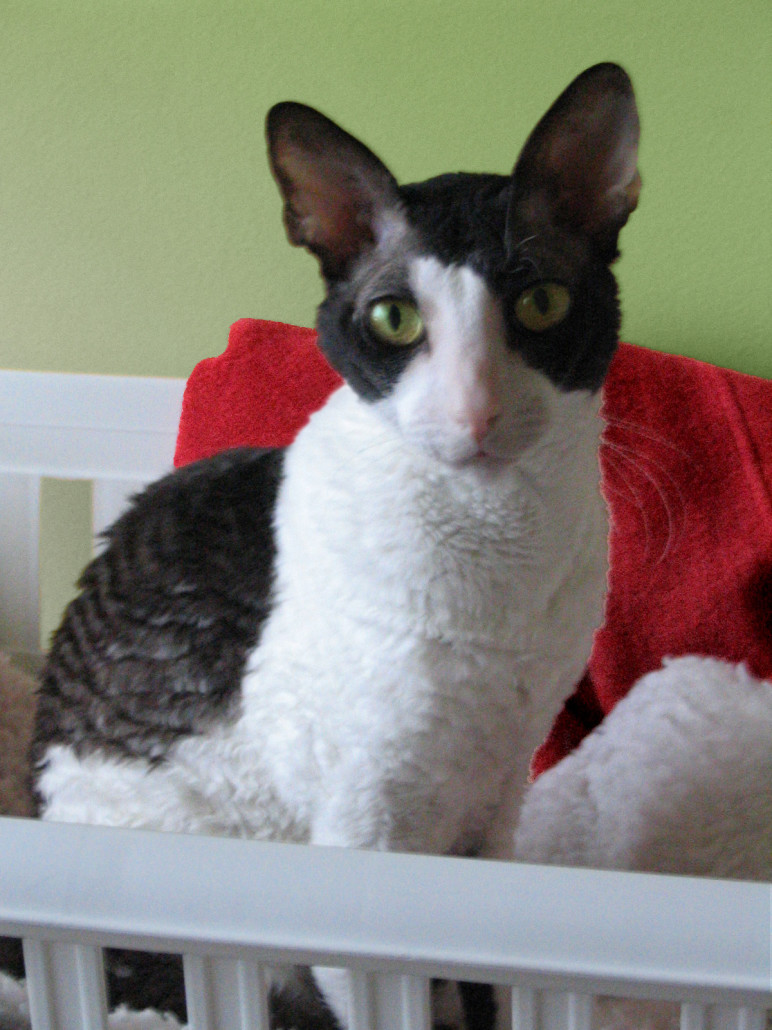Cornish Rex Information Health Pictures Amp Training Pet Paw