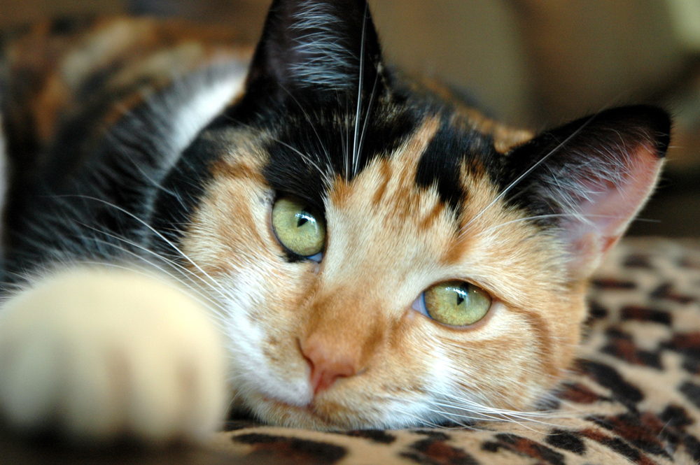Calico Information Health Pictures Amp Training Pet Paw