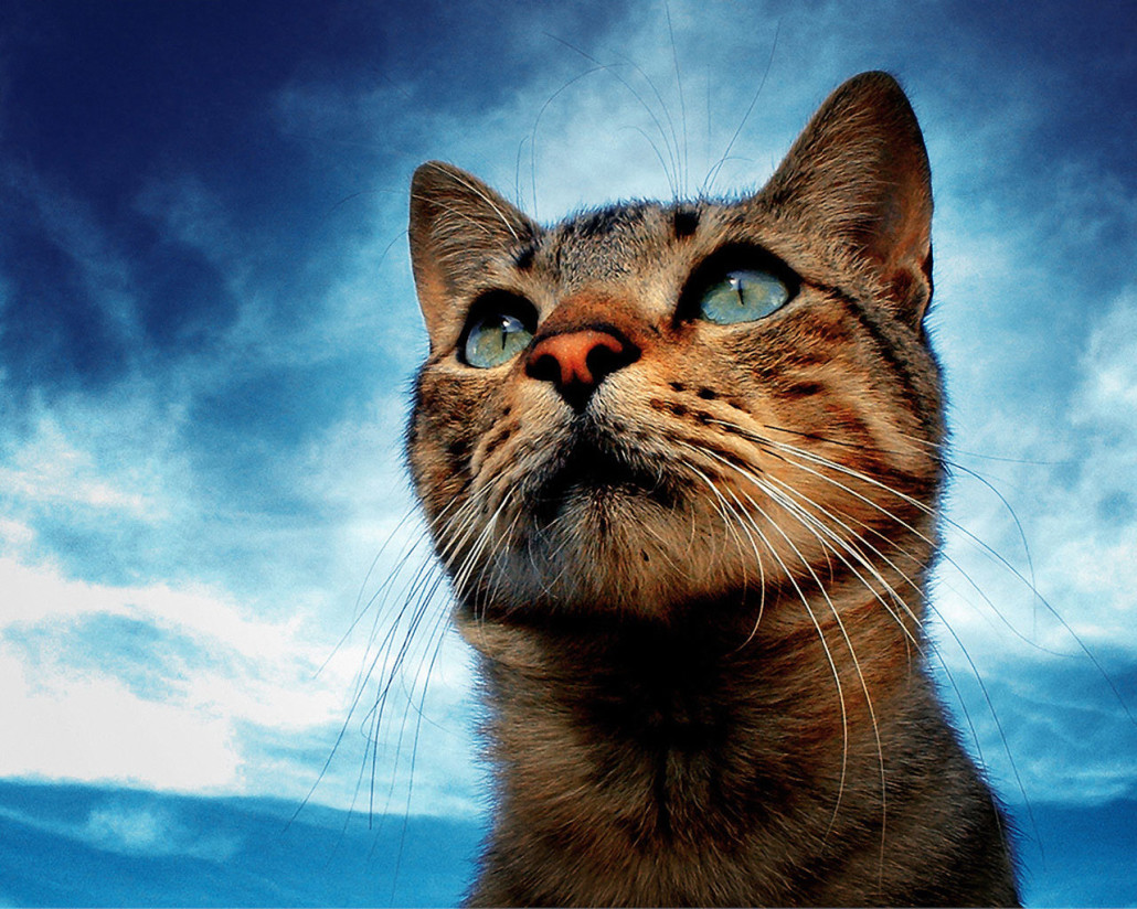 Domestic Shorthair Cat - Information, Health, Pictures ...