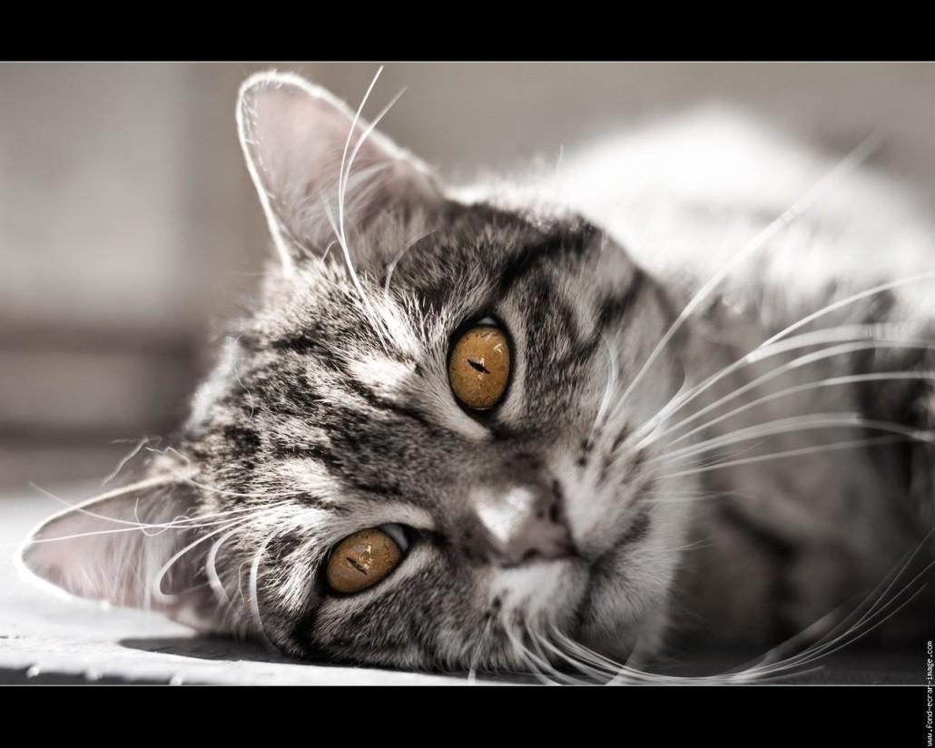European Shorthair Information Health & Training Pet Paw