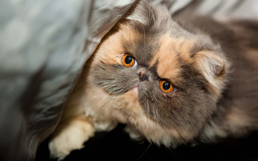 Exotic Shorthair - Information, Health, Pictures ...