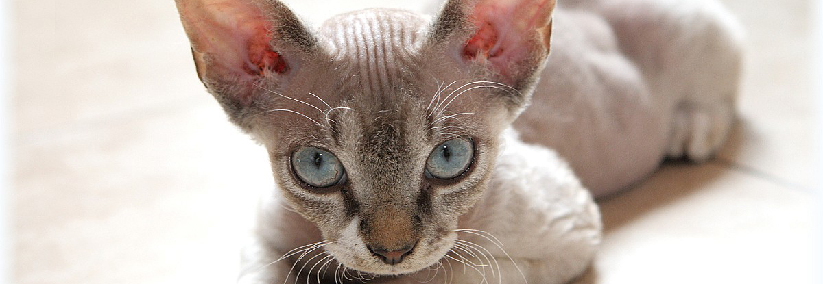 Devon Rex Information Health Pictures Amp Training Pet Paw