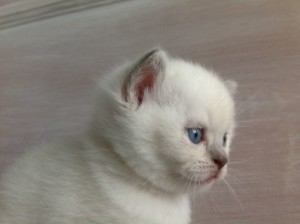 british colorpoint shorthair