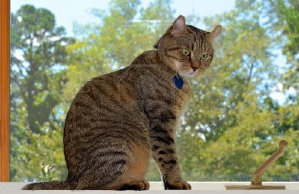Highlander Cat Information Health Pictures