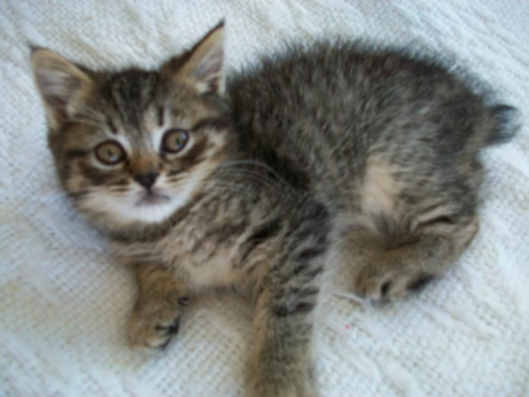 Highlander (cat) - Information, Health, Pictures ...