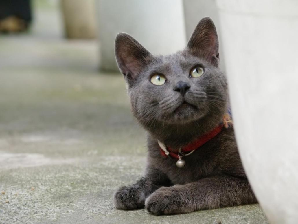 Korat Cat Information Health Pictures Amp Training Pet Paw