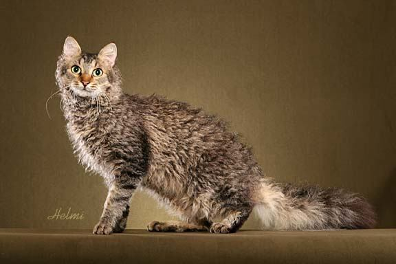 Laperm Cat Information Health Pictures Amp Training Pet Paw
