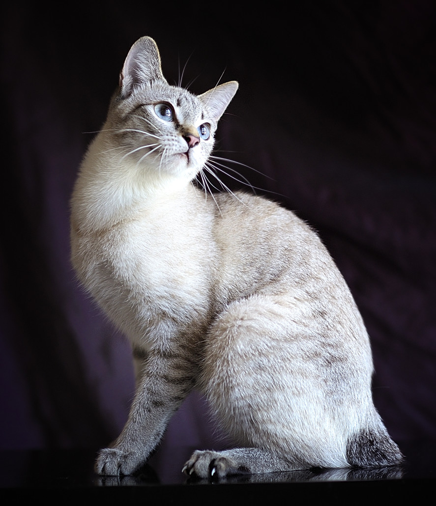 Mekong bobtail - Information, Health, Pictures & Training Pet Paw