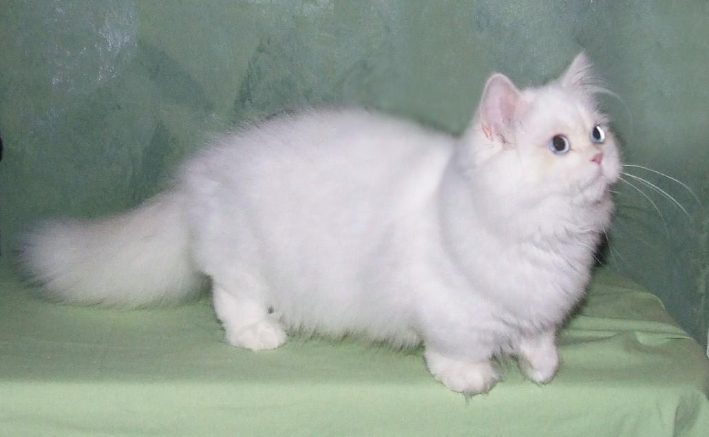 Tacsk 243 Macska Munchkin Munchkin Cat Cicfarok