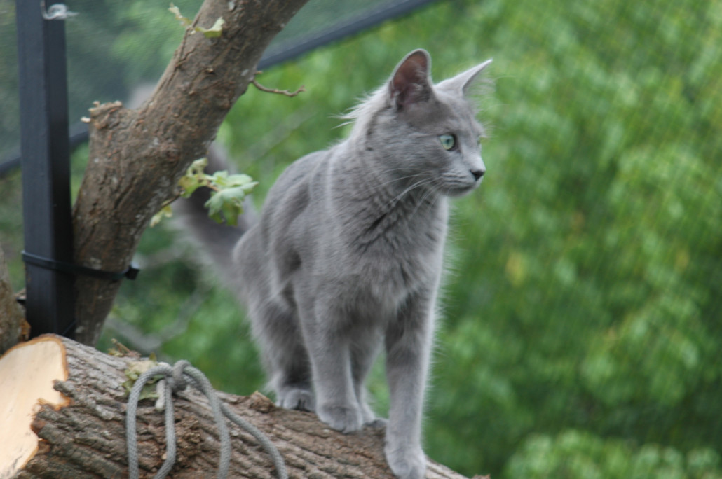 Blue Eyed Cat Genetic Issues