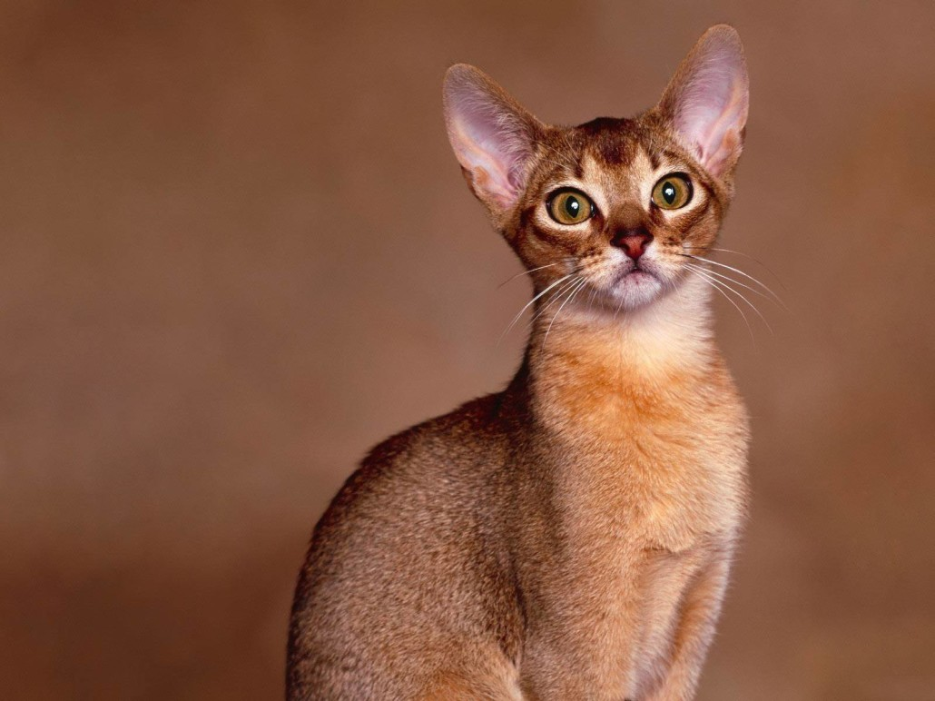 Oriental Shorthair Information Health Pictures