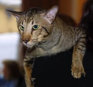 Slanted Eyes Cat Oriental