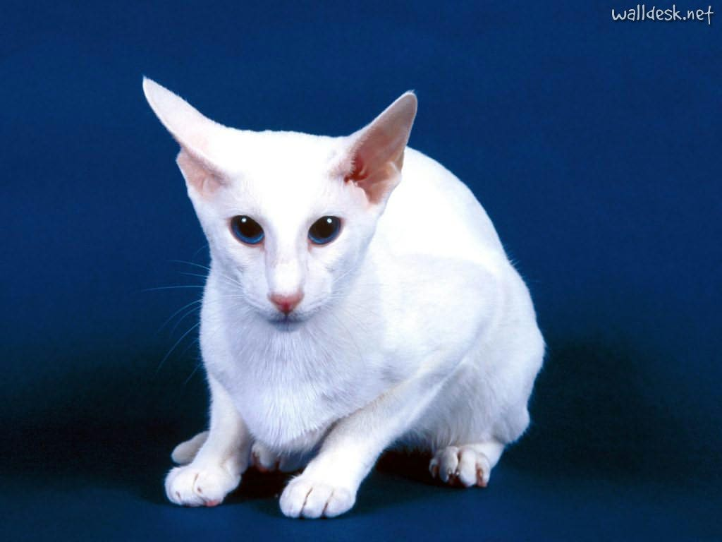 Car For Kids >> Oriental Shorthair - Information, Health, Pictures & Training Pet Paw