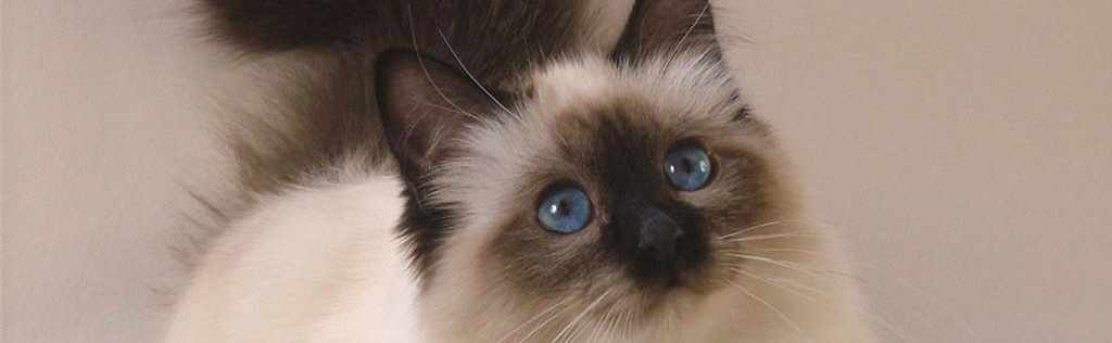 Persian Information Health Pictures Amp Training Pet Paw