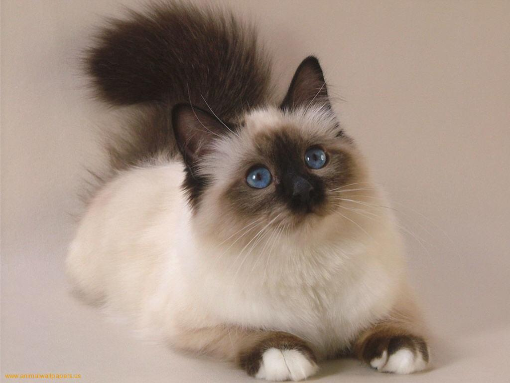 Persian - Information, Health, Pictures & Training Pet Paw
