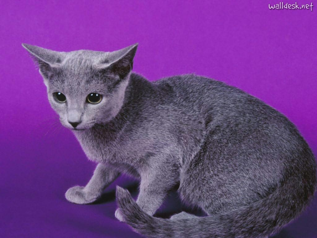 Russian Blue Cat Cat Breed Info & Best Sale Price